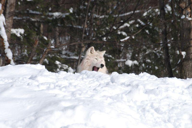 Arctic wolf 1